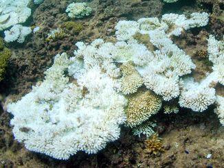 水深約2メートルの岩場で白化したサンゴ(2013年9月、北谷町)