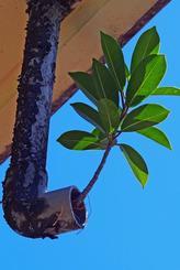 自宅の雨どいから伸びた植物。雨水を頼りに成長し住人も驚いている=6日、渡名喜村