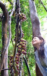 生態が謎に包まれているマメ科の植物「イルカンダ」
