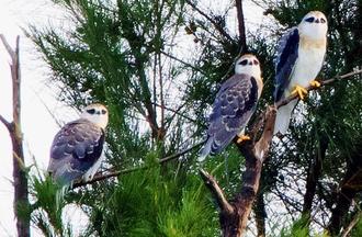 石垣島で生まれ、巣立ったカタグロトビの幼鳥3羽=16日(小林雅裕さん撮影)