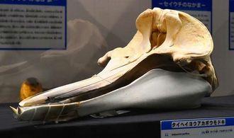 体長約5メートルの雄のタイヘイヨウアカボウモドキの頭骨