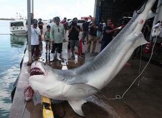 八重山漁協の水揚げ場に運ばれて駆除された500キロ超のサメ=石垣市新栄町