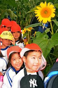 福島との「絆」のヒマワリ、今年も咲いた 沖縄・平和祈念公園 迷路オープン