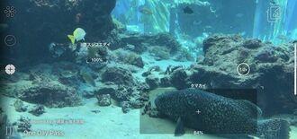 スマホのカメラを水槽にかざし、生物名が表示された「かざすAI図鑑」の映像