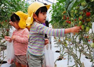 熟したトマトを選んで袋に詰める園児ら=7日、豊見城市与根