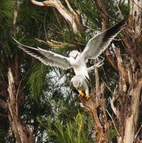 生息数増加で石垣島の生態系に影響も? カタグロトビ、幼鳥2羽が巣立つ