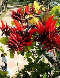 深紅の花鮮やかに 初夏告げるデイゴ、那覇で咲く