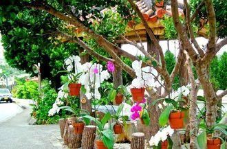 再利用した根株で鮮やかな花々を咲かせたコチョウランの数々=北中城村大城区喫茶店(旧バス停跡)