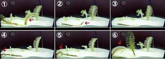 トゲウミサボテン属の一種が砂の中に潜って移動する様子(国営沖縄記念公園・海洋博公園提供)