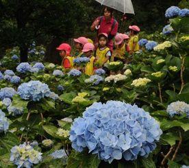 小雨がぱらつく中、アジサイの彩りを眺める園児たち=20日午前11時すぎ、名護市稲嶺・すえよし花園