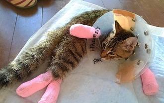 恩納村で見つかった3匹のネコのうち、首から下がまひし治療中のネコ(小林恵未さん提供)