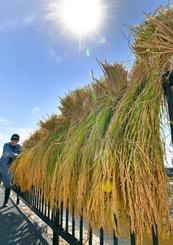 刈り取ったばかりの稲を次々と道路沿いに干す農家=7日午前、金武町伊芸(渡辺奈々撮影)