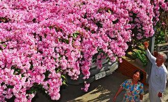 車庫の上で満開のニンニクカズラの花=11日、那覇市仲井真(金城健太撮影)