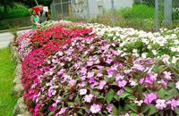 6色のアーチ インパチェンスが開花し彩る 沖縄・今帰仁