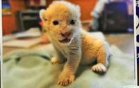かわいすぎるホワイトライオンの赤ちゃん 来春公開、沖縄こどもの国の新アイドルに