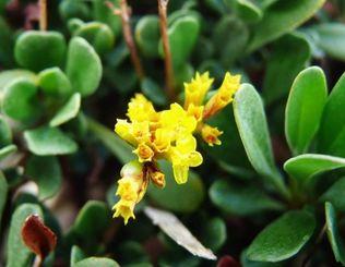 季節はずれの黄色い花を咲かせたウコンウソマツ=11日、名護市・安部の海岸