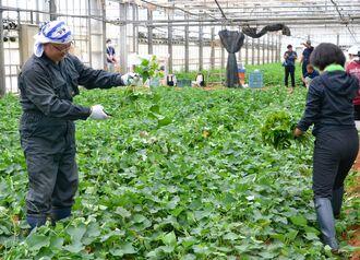 無病苗の採取作を手伝う「星のや沖縄」の従業員=8日、読谷村先進農業支援センター