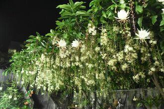 サガリバナと月下美人が同時に開花し、辺り一面にほのかな香りが漂う=16日、名護市大北