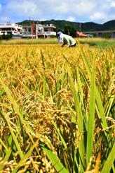 一面に広がる黄金色の稲穂を刈り取る農家=6日午前、金武町伊芸
