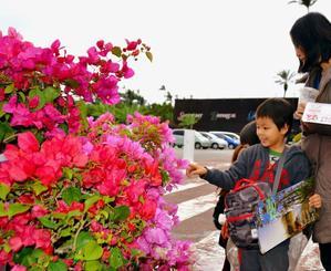 色鮮やかなブーゲンビレアを楽しむ親子=11日、沖縄市知花・東南植物楽園
