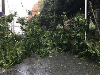 木が倒れて道路をふさいだ=29日午前7時、那覇市牧志
