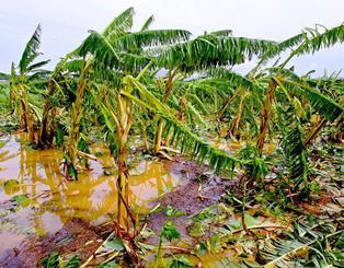 暴風で折れた曲がったバナナの木=11日午前9時半ごろ、石垣市白保(国吉聡志撮影)