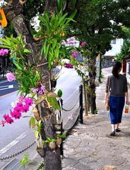 道行く人を楽しませているランの花=12日、那覇市松川の金城ダム通り