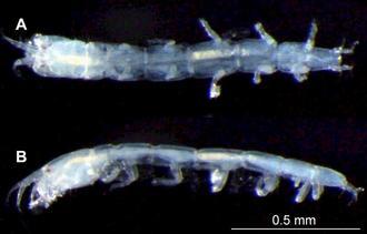下地島で発見されたシモジチヂミタナイス。Aが背面、Bが左側面(北海道大大学院理学研究院の角井敬知講師提供)