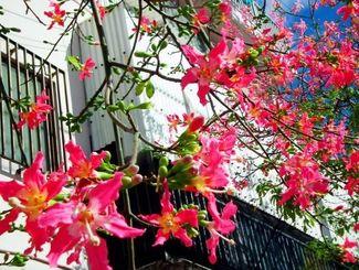 鮮やかな濃いピンクの花を咲かせているトックリキワタ=那覇市・与儀小学校南側の県道221号