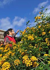 青空の下、黄色い花を咲かせたランタナに見入る家族連れ=28日午後1時ごろ、那覇市・新都心公園(国吉聡志撮影)