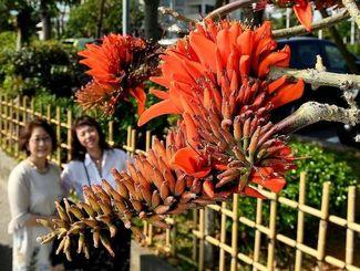 鮮やかな赤い花を咲かせたデイゴ=14日、宜野湾市真志喜(渡辺奈々撮影)