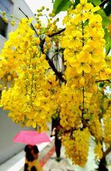 鮮やかな黄色の花を咲かせるゴールデンシャワー=10日、那覇市若狭(田嶋正雄撮影)