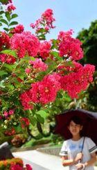 強い日差しを浴びて咲き誇るサルスベリの花=27日、浦添市宮城(金城健太撮影)