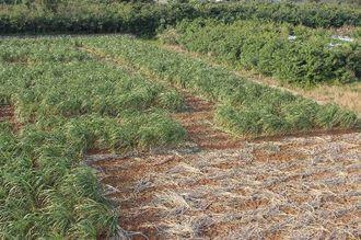 伊良部島に出現した巨大サトウキビ迷路(宮古島市観光課提供)