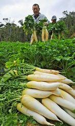 青首大根の収穫に精を出す農家=19日午前、恩納村名嘉真(国吉聡志撮影)