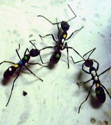 産卵を試みる個体(中央)を2匹の個体が抑え込む様子(辻和希教授提供)