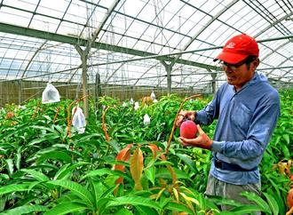 台風8号が過ぎ去り、マンゴーの状態を確認しながら収穫する農家=11日、宮古島市城辺新城