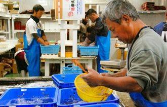 出荷に追われる久米島の車エビ養殖業者=19日、久米島町北原の久米島総合開発