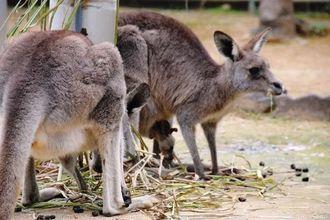母親の袋から顔を出し、草で遊ぶオオカンガルーの赤ちゃん=14日、沖縄市胡屋の沖縄こどもの国
