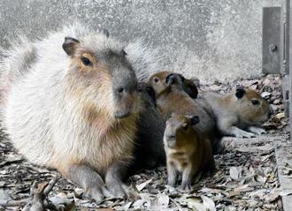 六つ子の赤ちゃんが生まれた兵庫県姫路市立動物園のカピバラ=23日