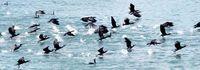 ウミウ大挙 小魚ついばむ/名護の海に飛来