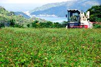 塩屋湾眼下にソバの実収穫/大宜味江洲の畑