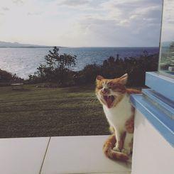1月9日 ホテルにチェックインした際に出迎えてくれた支配人ならぬ支配猫さん。 お昼寝のところをお邪魔したみたいで、とても眠そうでいきなり大あくび。 無事にチェックインした事を確認して、前の芝生で続きのお昼寝してました。