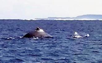 大浦湾で遊泳しているのが見つかったザトウクジラ=11日午後5時すぎ、名護市辺野古の大浦湾(西原瑠夏さん提供)
