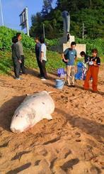 浜に打ち上げられたコマッコウ=10日午後、名護市世冨慶の海岸(提供)
