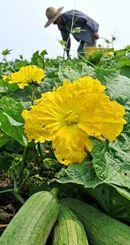 収穫期を迎え、黄色く咲き誇るヘチマの花=5日午前10時ごろ、南風原町山川(国吉聡志撮影)