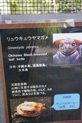 国指定天然記念物のリュウキュウヤマガメ