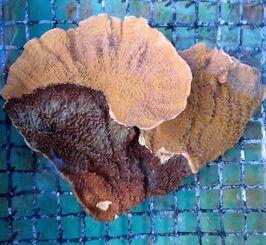 チヂミウスコモンサンゴ。黒い部分がテルピオスカイメン=18年11月30日(提供)