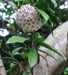 ガジュマルの幹をはう、つる性のサクラランの花