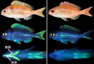 新種と明らかになった「アカタマガシラ」(左)と「エンビアカタマガシラ」(右)。両種で蛍光パターンが異なる=(沖縄美ら島財団提供)